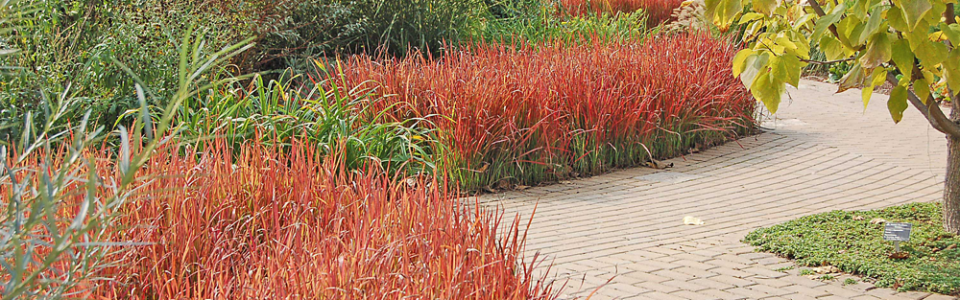 Grass-Imperata-'Red-Baron'-LR